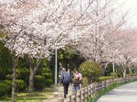 桜並木の散歩の画像